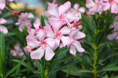 Pink oleander flowers natural bouquet closeup. Oleander - large evergreen shrub with branching stems brownish color , covered with rounded lenticels Stock Photo