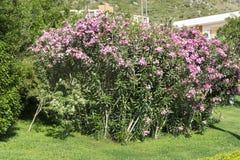 Pink  oleander flowers (Nerium oleander)  in a green garden Stock Photos