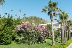 Pink  oleander flowers (Nerium oleander)  in a green garden Stock Image