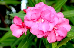 Pink Oleander Flowers up close stock photo
