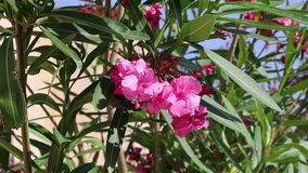 Pink oleander flowers on the wind. Background of pink oleander flowers on the wind in a summer park stock video
