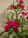 Pink Oleander - Garden Flowers - Ile de Puteaux, France. Pink oleander evergreen shrubs with abundant clusters of pink five-petaled flowers that bloom throughout stock photos