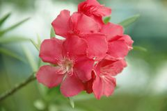Pink oleander on a green background stock photos