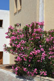 Pink Oleander in Koutouloufari. Pink Oleander in blossom in Koutouloufari on Crete in Greece Stock Photos