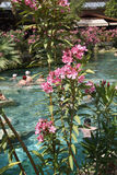 Pink oleander lines the edges of the pool Royalty Free Stock Photography