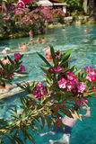 Pink oleander lines the edges of the pool Stock Images