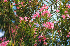 Pink oleander or Nerium Stock Photography