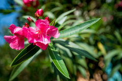 Pink oleander or Nerium Royalty Free Stock Images