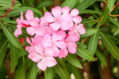 Pink oleander or Nerium Royalty Free Stock Photos
