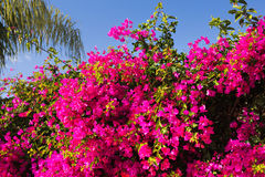 Pink oleander or Nerium. Pink flower against the blue sky sunny day Royalty Free Stock Images