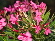 Pink oleander or nerium flower bloom with sunlight in the evening on nature background. stock photo