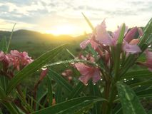 Pink oleander or nerium flower with rain drops. stock photography
