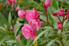 Pink oleander Stock Photography