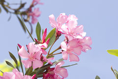 Pink oleander Royalty Free Stock Photo