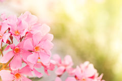 Pink oleander plant Royalty Free Stock Photos