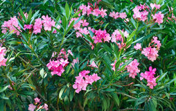 Pink oleander tree in blossom Royalty Free Stock Photography