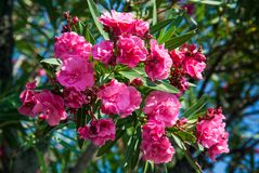 Pink oleander on the waterfront of Lake Garda, Italy. Royalty Free Stock Photography