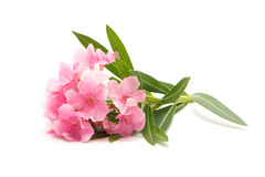 Pink oleander on white background Royalty Free Stock Photo