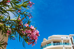 Pink oleanders and blue sky in Alghero Royalty Free Stock Photo