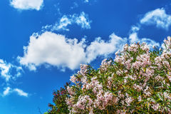 Pink oleanders on a clear day Royalty Free Stock Photo