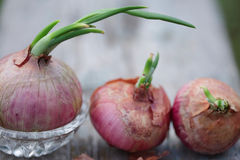 Pink Onions Family Stock Image