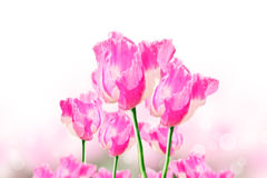 Pink opium flower Stock Image