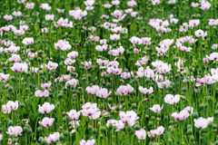 Pink Opium Poppies Royalty Free Stock Photos