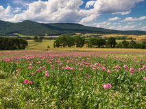 Pink Opium Poppy field in a rural landscape Stock Photos
