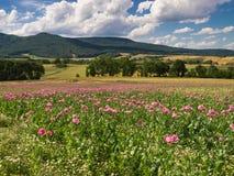 Pink Opium Poppy field in a rural landscape Stock Photos