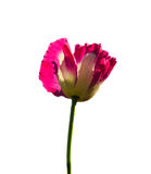 Pink opium poppy flower Royalty Free Stock Photo