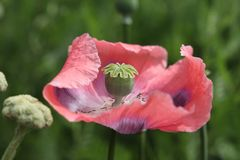 Pink opium poppy. Papaver somniferum, commonly known as the opium poppy or breadseed poppy, is a species of flowering plant in the family Papaveraceae. It is the stock photo