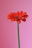 Pink and orange. Orange flower with stalk in profile on pink background Stock Photos