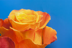Pink orange. Orange rose on a blue background Royalty Free Stock Photography