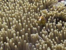 Pink orange anemonefish close up face in sea anemone underwater royalty free stock image