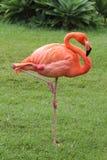 Pink and orange bird with curved peak flamingo stock image