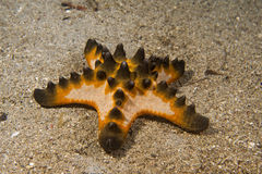 Pink orange and black sea star group on the sand background Stock Images