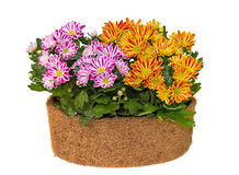 Pink and orange chrisamthemum plants. Pink and orange chrisamthemum plants in a flower pot with white background Stock Photo