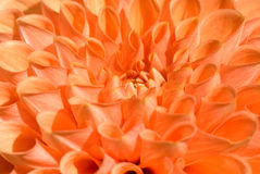 Pink orange Dahlia close-up Stock Photo