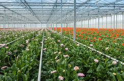 Pink and orange flowering gerbaras in a modern flower nursery Royalty Free Stock Images
