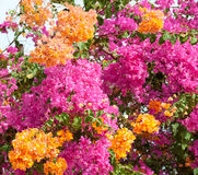 Pink and orange bushes Royalty Free Stock Photos