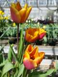 Pink and orange flowers. Flowers on display in the greenhouses at Elizabeth park in Hartford, CT Royalty Free Stock Image