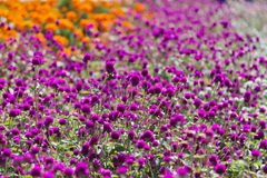 Pink and Orange Flowers in a Garden Stock Image