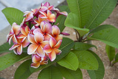 Pink, orange Frangipani (plumeria). A branch of pink, orange Frangipani (plumeria Stock Image