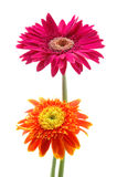 Pink and orange gerber daisies. In isolated white Stock Photos