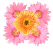 Pink and Orange gerbera daisy flower isolated Stock Images