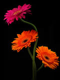 Pink and orange gerbera with stem isolated on black background Royalty Free Stock Photos