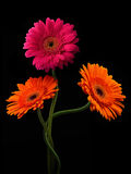 Pink and orange gerbera with stem isolated on black background Stock Images