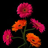 Pink and orange gerbera with stem isolated on black background Royalty Free Stock Photo