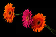 Pink and orange gerbera with stem isolated on black background Stock Photos