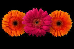 Pink and orange gerbera with stem isolated on black background Royalty Free Stock Images